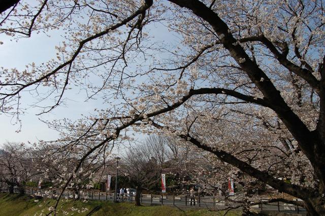 桜080328.JPG